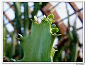 三角柱-仙人掌科-多肉植物-沙漠植物:三角柱04.jpg