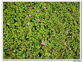 蔓性野牡丹-野牡丹科-藤蔓植物-地被植物:蔓性野牡丹21.jpg