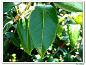 小紅茶花-茶科-木本花卉:小紅茶花14.JPG