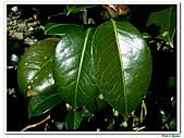千層茶花-茶科-木本花卉:千層茶花13.JPG