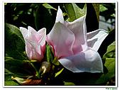 單瓣杜鵑-杜鵑花科-木本花卉:單瓣杜鵑5.JPG