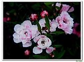 松紅梅-桃金孃科-木本花卉:松紅梅05.jpg