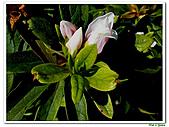 單瓣杜鵑-杜鵑花科-木本花卉:單瓣杜鵑6.JPG