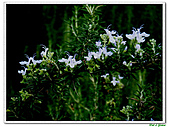 匍匐迷迭香-唇形科-香草植物-草本花卉-地被植物:匍匐迷迭香11.jpg