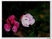 松紅梅-桃金孃科-木本花卉:松紅梅06.jpg