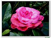玫瑰茶花-茶科-木本花卉:玫瑰茶花16.JPG