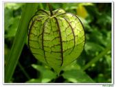 燈籠草(苦蘵)-茄科-藤蔓植物-飢荒野菜:燈籠草(苦蘵)10.JPG