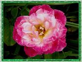 玫瑰10:玫瑰01.jpg