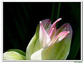 鬱金(薑黃)-薑科-球根植物:鬱金12.jpg