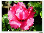 重瓣紅花杜鵑-杜鵑花科-木本花卉:重瓣紅花杜鵑1.JPG
