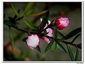 松紅梅-桃金孃科-木本花卉:松紅梅07.jpg