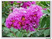 小花紫薇(紫紅色)-千屈菜科-木本花卉:小花紫薇-紫紅色01.jpg