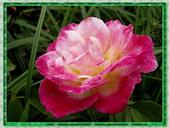 玫瑰10:玫瑰02.jpg
