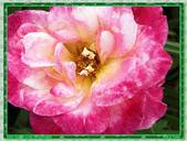 玫瑰10:玫瑰03.jpg