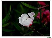 松紅梅-桃金孃科-木本花卉:松紅梅08.jpg