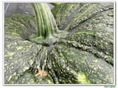 南瓜-葫蘆科-民生植物-藤蔓植物:南瓜15.jpg