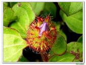 蔓性野牡丹-野牡丹科-藤蔓植物-地被植物:蔓性野牡丹05.jpg