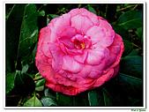 玫瑰茶花-茶科-木本花卉:玫瑰茶花17.JPG