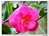 小玫瑰茶花-茶科-木本花卉:小玫瑰茶花1.JPG