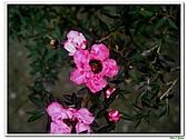 松紅梅-桃金孃科-木本花卉:松紅梅09.jpg