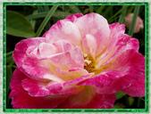玫瑰10:玫瑰04.jpg