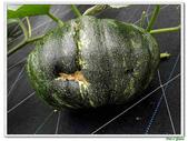 南瓜-葫蘆科-民生植物-藤蔓植物:南瓜17.jpg