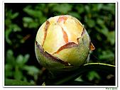 千層茶花-茶科-木本花卉:千層茶花15.JPG
