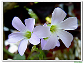 紫葉酢漿草-酢漿草科-草本花卉:紫葉酢漿草04.jpg