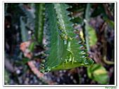 三角柱-仙人掌科-多肉植物-沙漠植物:三角柱06.jpg