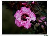 松紅梅-桃金孃科-木本花卉:松紅梅10.jpg