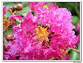 小花紫薇(紫紅色)-千屈菜科-木本花卉:小花紫薇-紫紅色02.jpg