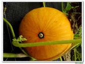 南瓜-葫蘆科-民生植物-藤蔓植物:南瓜18.jpg