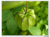 燈籠草(苦蘵)-茄科-藤蔓植物-飢荒野菜:燈籠草(苦蘵)11.JPG
