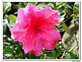 重瓣紅花杜鵑-杜鵑花科-木本花卉:重瓣紅花杜鵑2.JPG