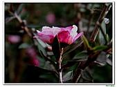 松紅梅-桃金孃科-木本花卉:松紅梅11.jpg