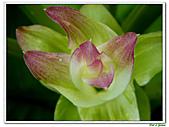 鬱金(薑黃)-薑科-球根植物:鬱金13.jpg