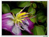 蔓性野牡丹-野牡丹科-藤蔓植物-地被植物:蔓性野牡丹06.jpg