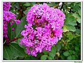 小花紫薇(紫紅色)-千屈菜科-木本花卉:小花紫薇-紫紅色03.jpg