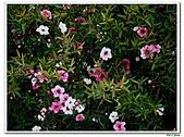 松紅梅-桃金孃科-木本花卉:松紅梅13.jpg