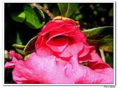 重瓣紅花杜鵑-杜鵑花科-木本花卉:重瓣紅花杜鵑5.JPG