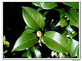 玫瑰茶花-茶科-木本花卉:玫瑰茶花19.JPG