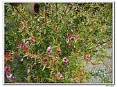 松紅梅-桃金孃科-木本花卉:松紅梅14.jpg