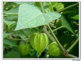 燈籠草(苦蘵)-茄科-藤蔓植物-飢荒野菜:燈籠草(苦蘵)12.jpg