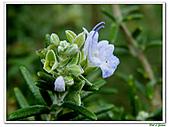 匍匐迷迭香-唇形科-香草植物-草本花卉-地被植物:匍匐迷迭香13.jpg