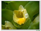 鬱金(薑黃)-薑科-球根植物:鬱金14.jpg