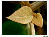 野桐(雄花)-大戟科-木本花卉:野桐-雄花08.jpg