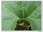 南瓜-葫蘆科-民生植物-藤蔓植物:南瓜19.jpg