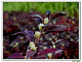 法國莧-莧科-草本花卉-觀葉植物:法國莧3.jpg