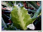 三角柱-仙人掌科-多肉植物-沙漠植物:三角柱07.jpg