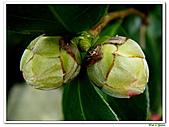 玫瑰茶花-茶科-木本花卉:玫瑰茶花20.JPG